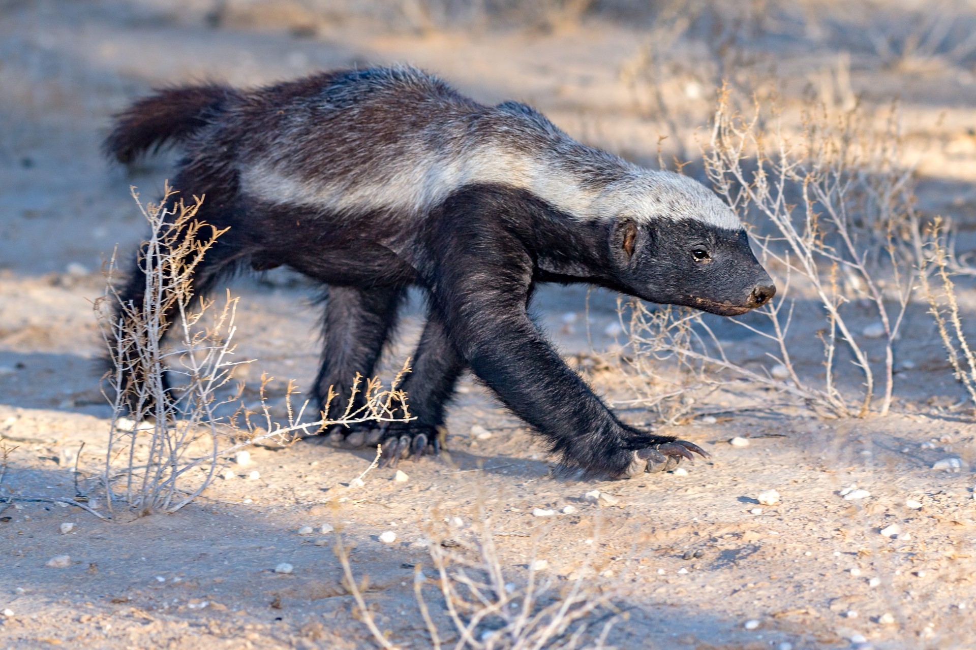 A honey badger on the hunt in Africa
