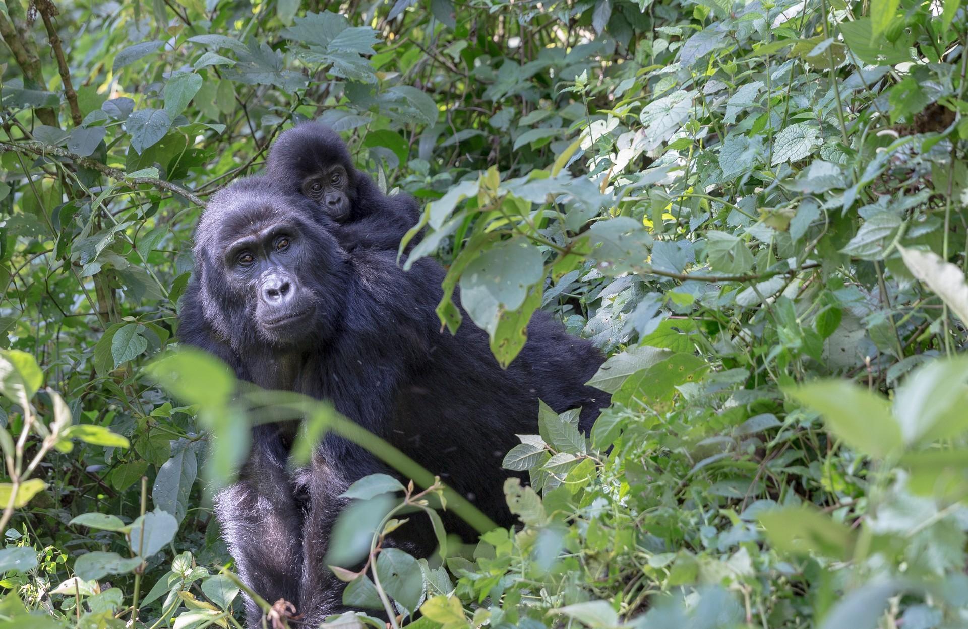 Mountain gorilla and baby in Uganda