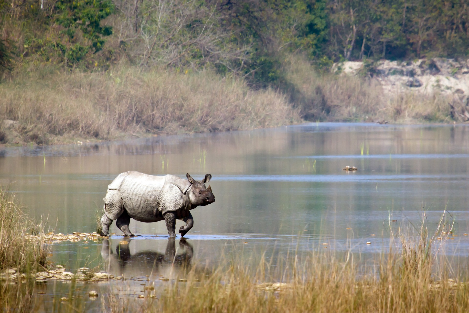 One-horned rhino in Chitwan National Park, Nepal