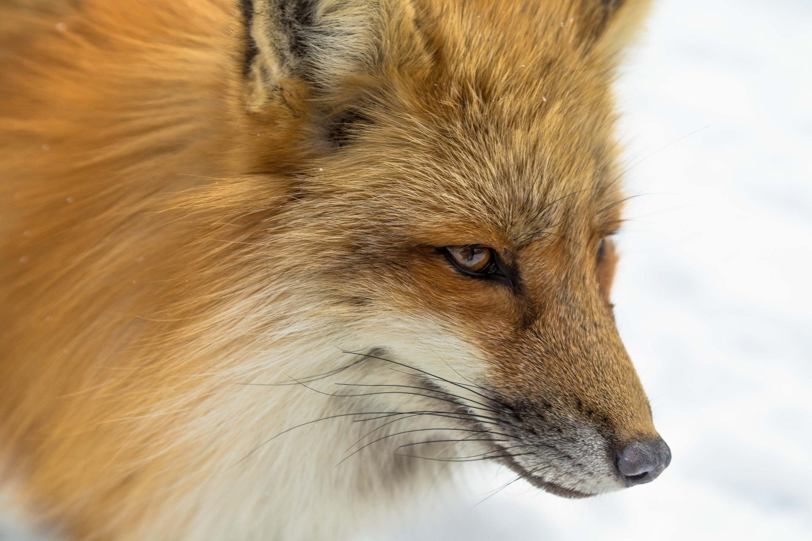 Red Fox in Japan