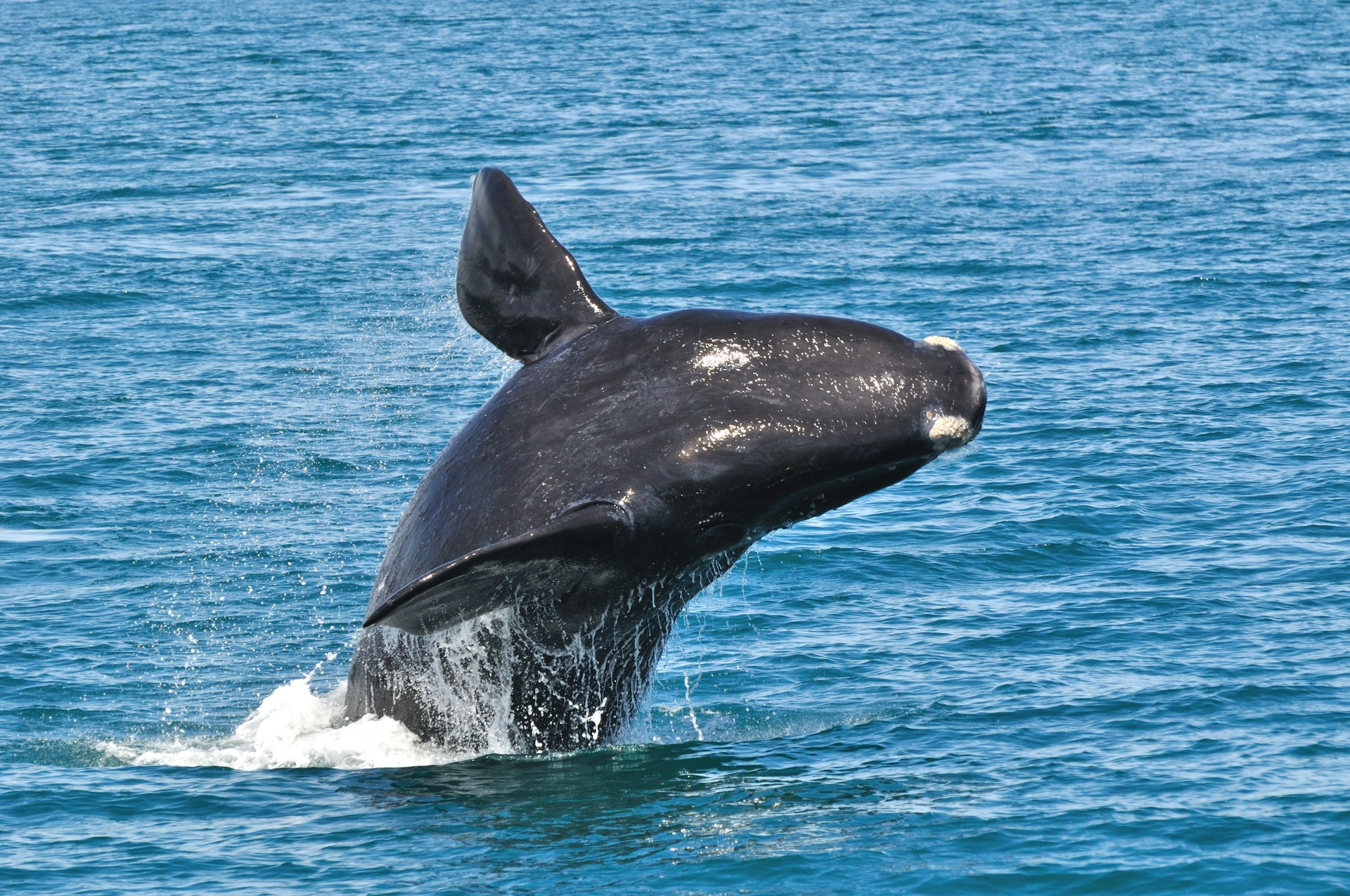 Southern Right Whale breaching off Garden Route coast