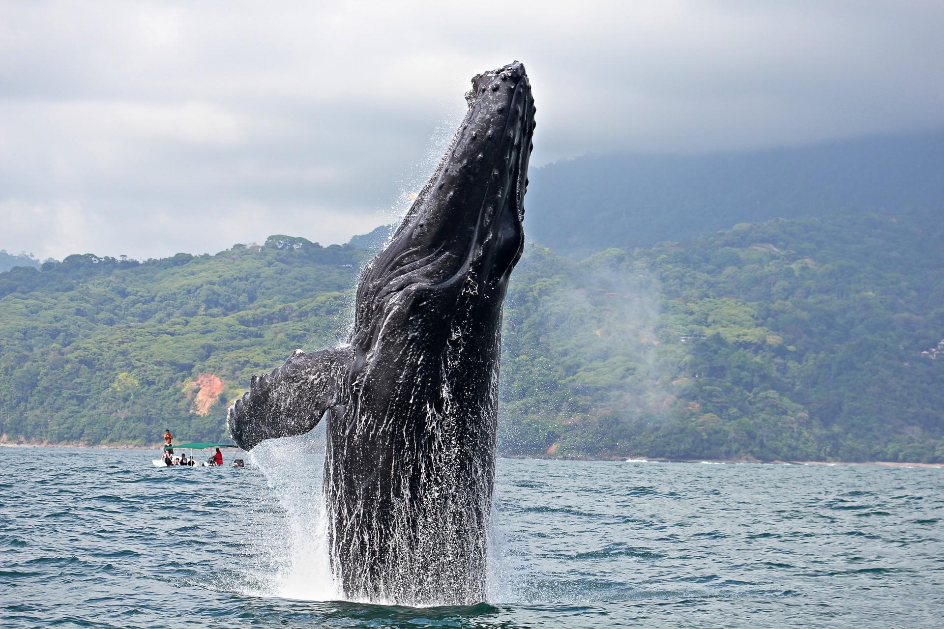 Humpback whale breaching in Costa Rica