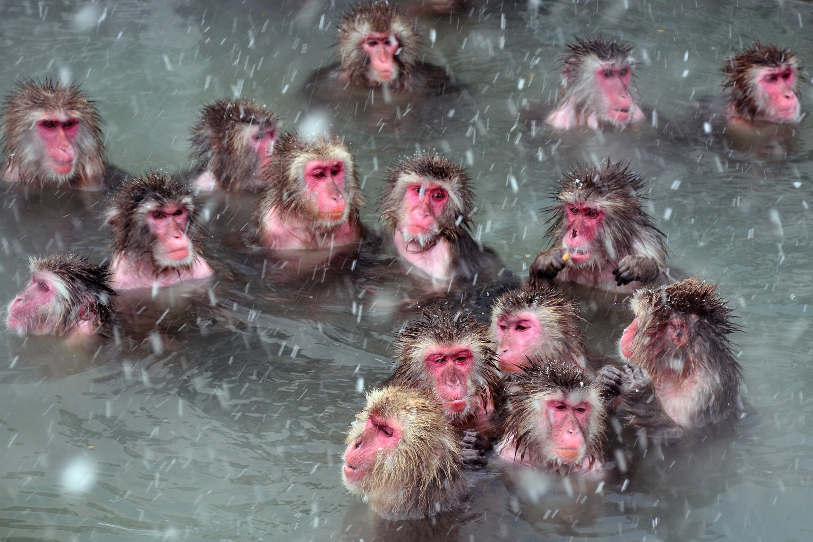 Snow monkeys in the hot spring