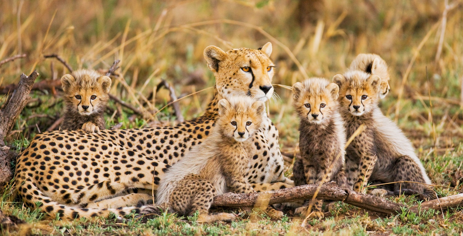 Cheetah family in Tanzania