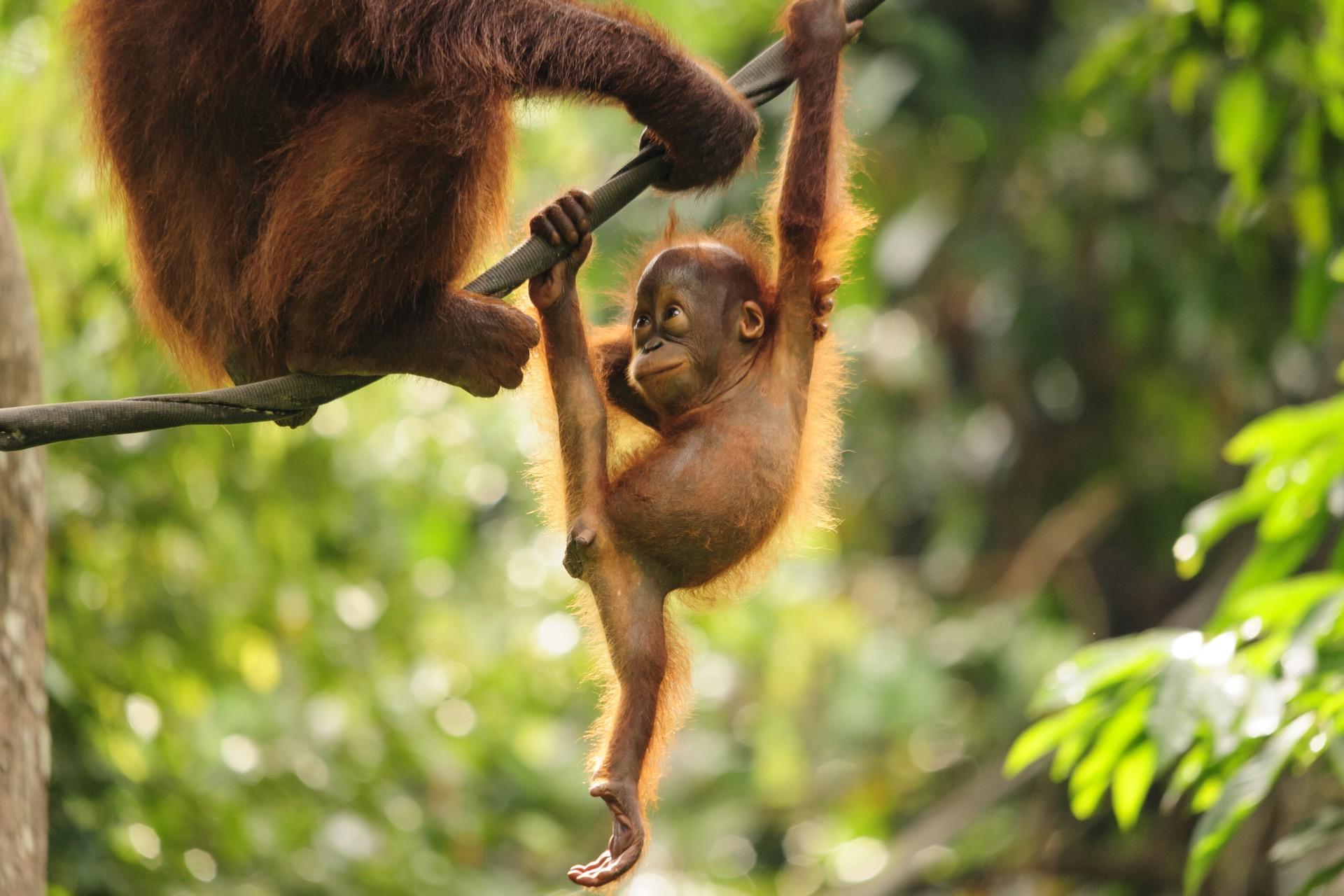 Baby orangutan playing in Borneo