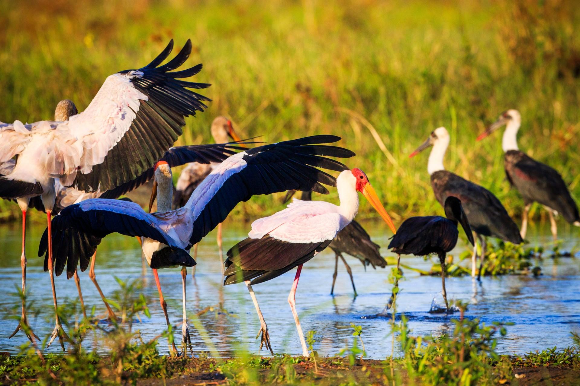 Yellow billed stork in Liwonde National Park, Malawi