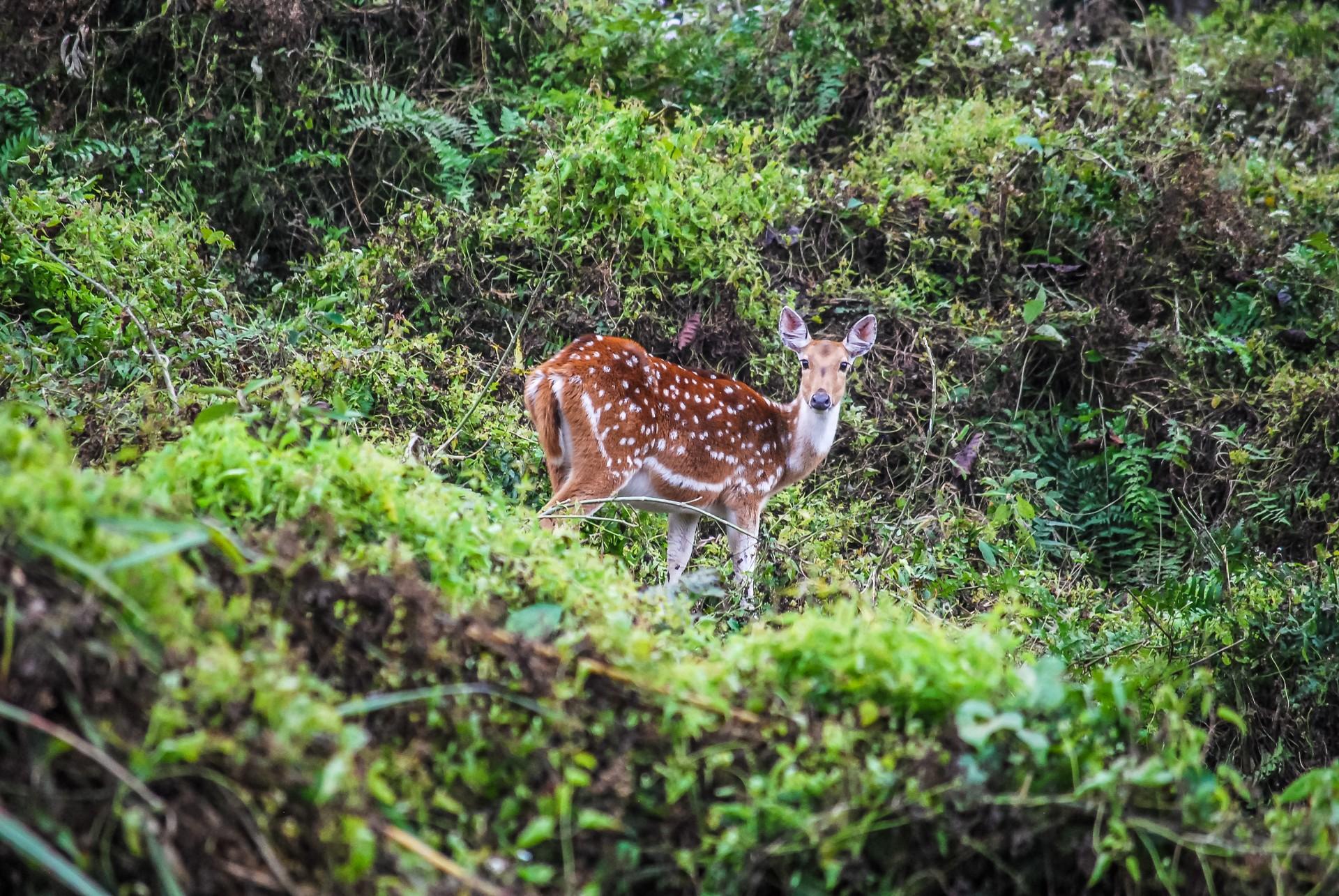 Deer in Chitwan National Park, Nepal