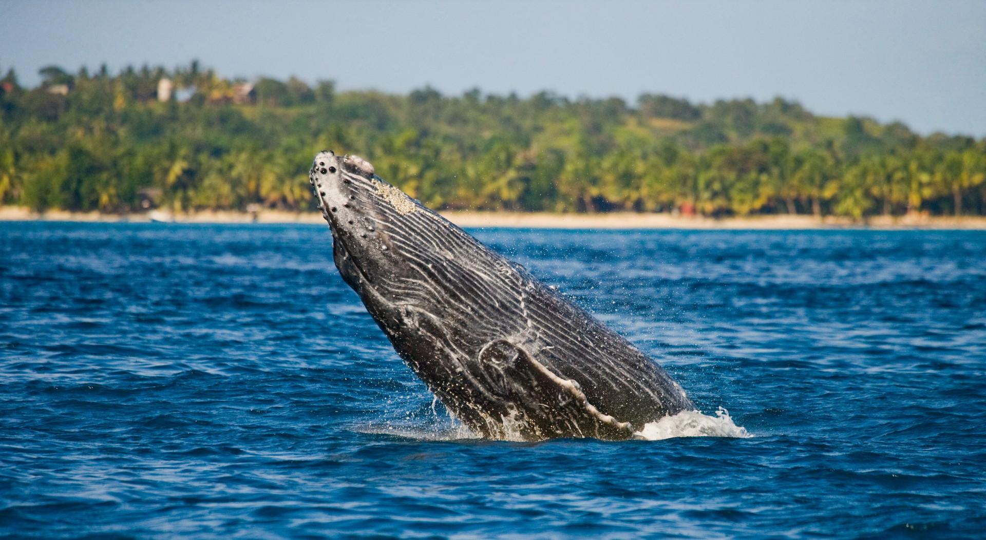 Whale breaching off Ile Sainte Marie, Madagascar