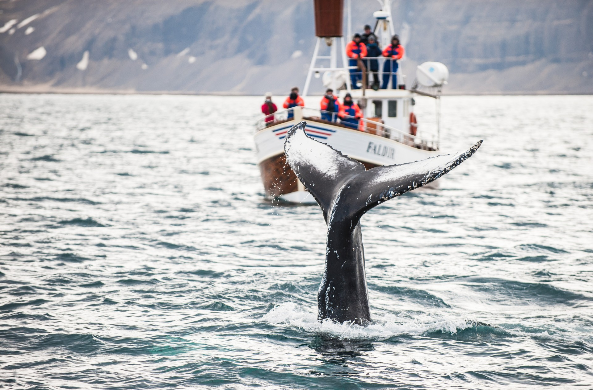 Humpback whale watching in Iceland