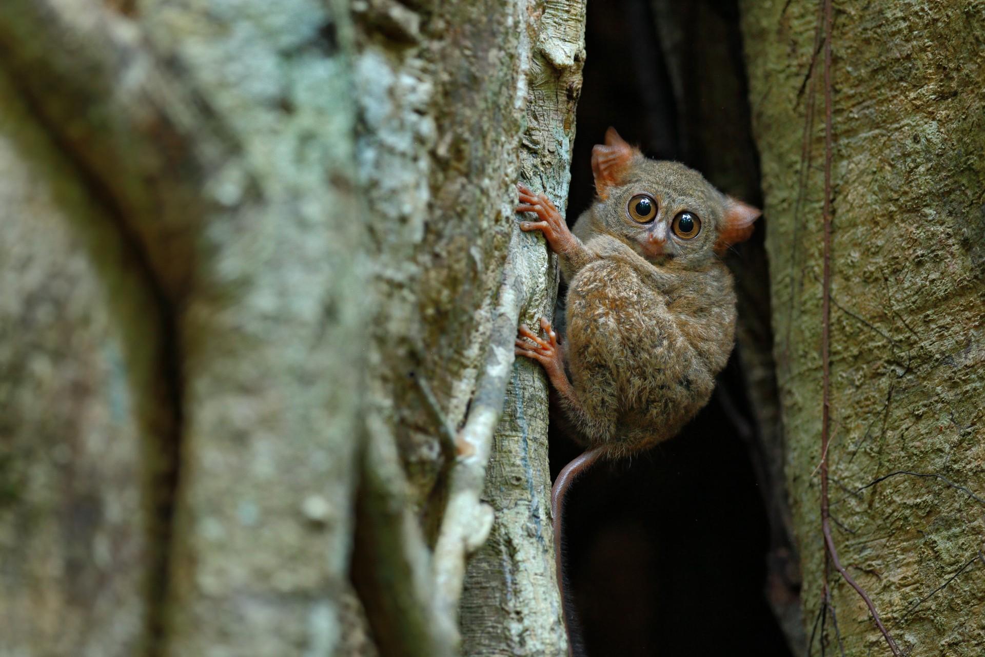 Marsupial in Indonesia