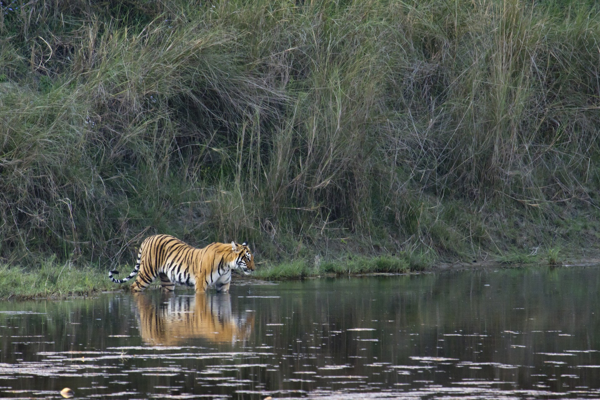 Bengal tiger in a river in Chitwan National Park, Nepal