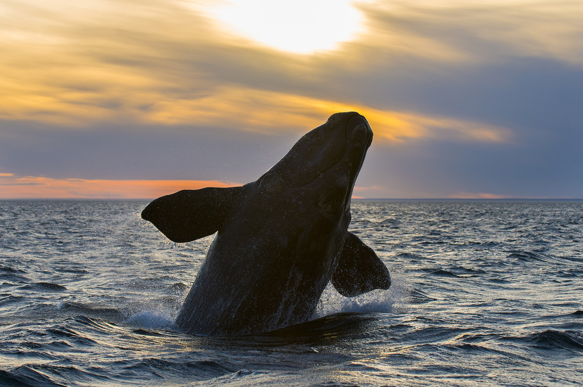 Southern right whale leaping at sunset in Patagonia