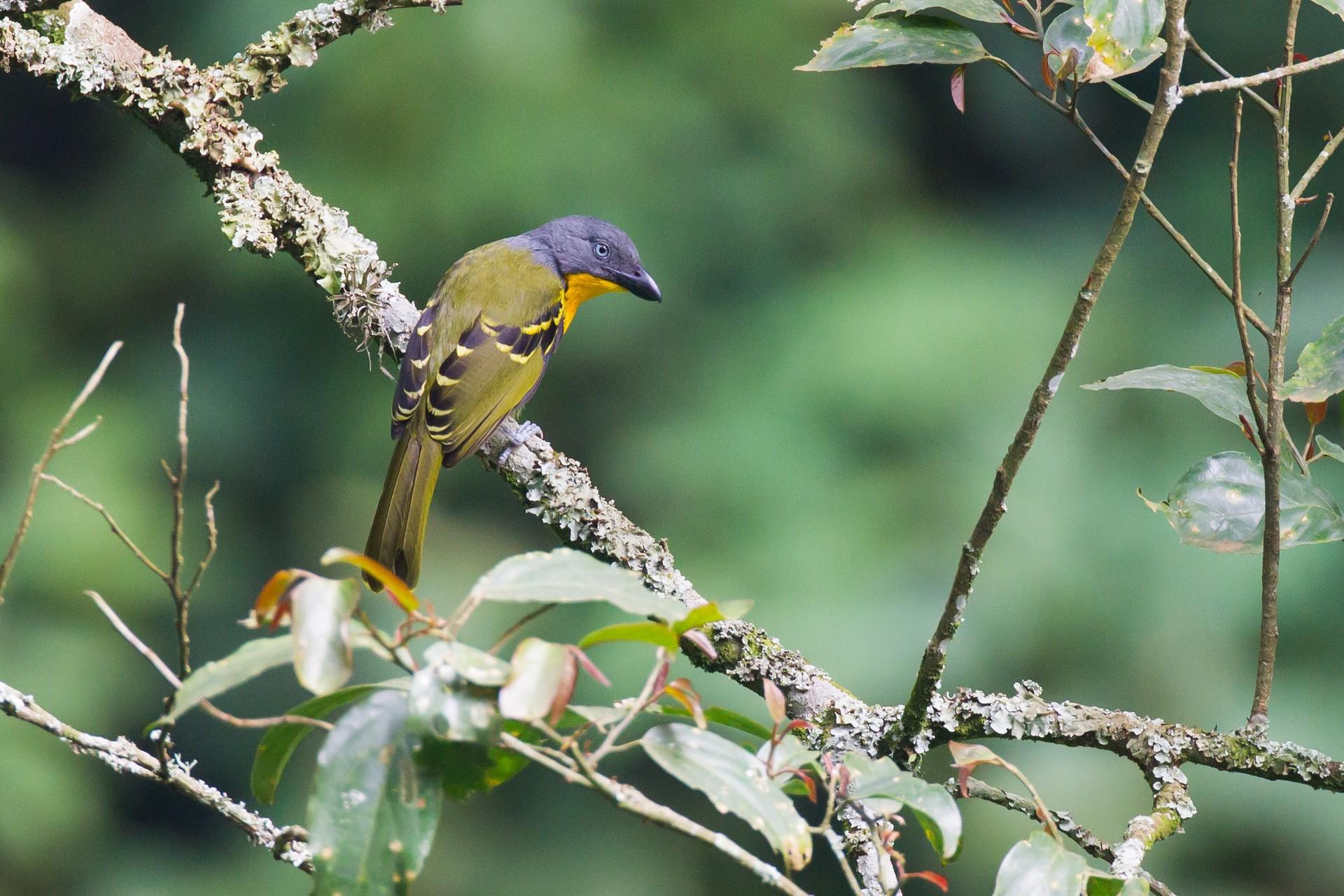 Lagden's Bush-shrike, Bwindi, Uganda