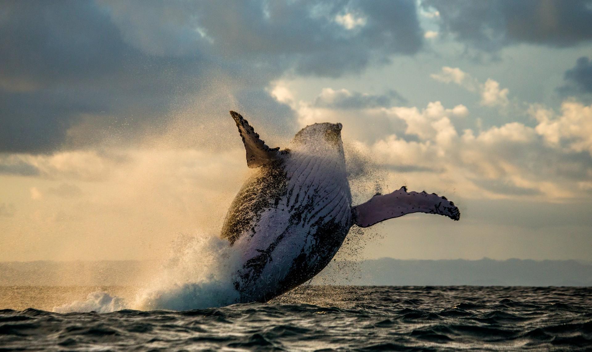 Whale breaching at sunset off Ile Sainte Marie, Madagascar