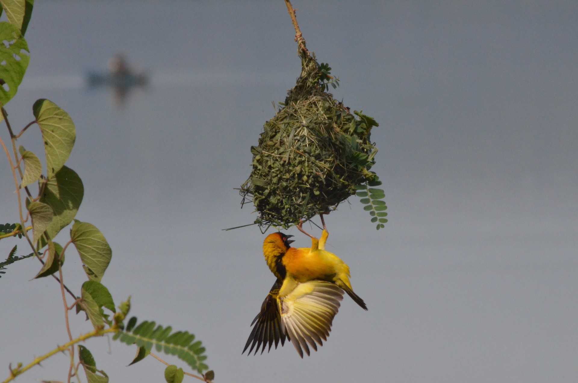 Yellow weaver bird on nest in Lake Mburo National Park, Uganda
