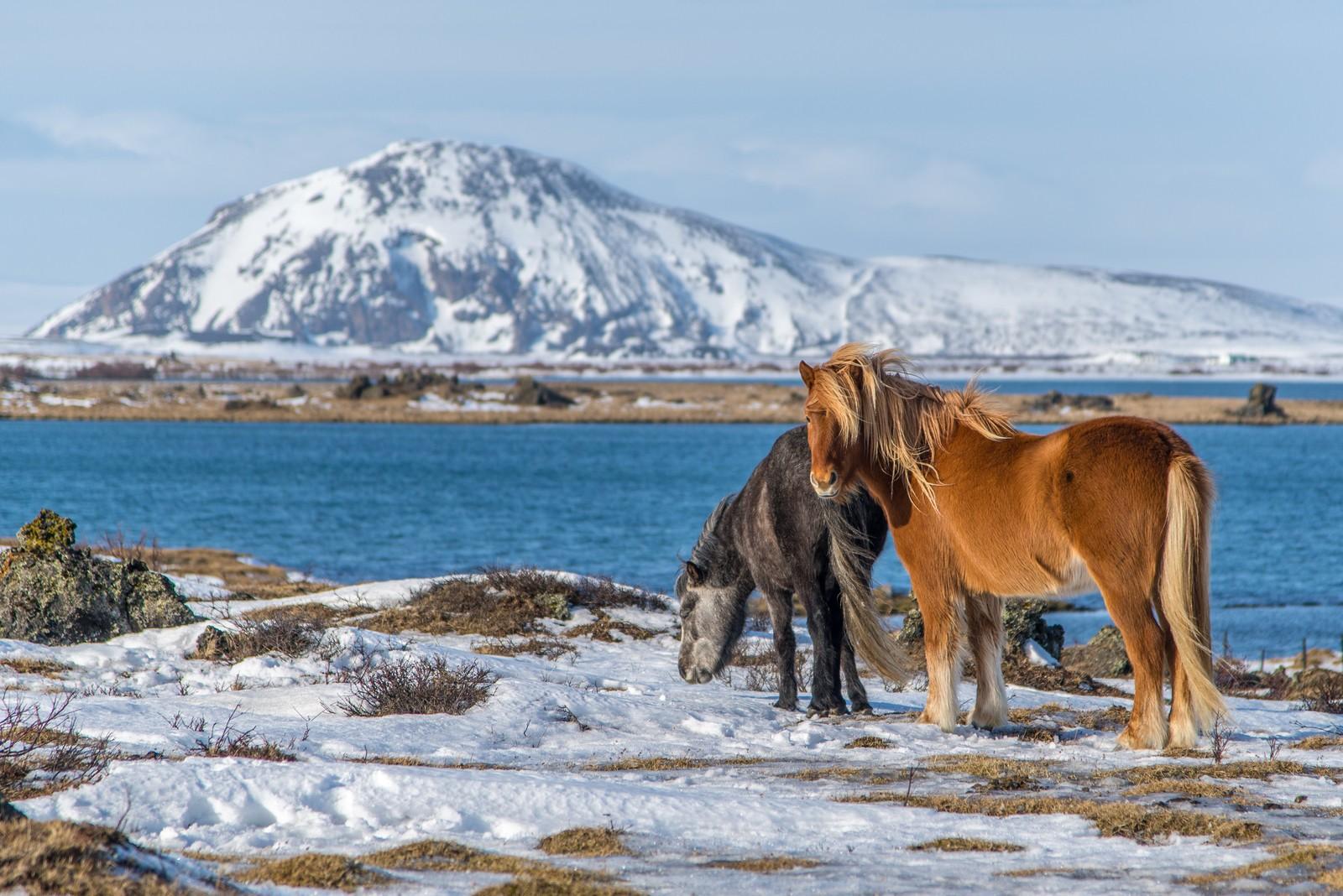 Icelandic ponies on shores of Lake Mývatn