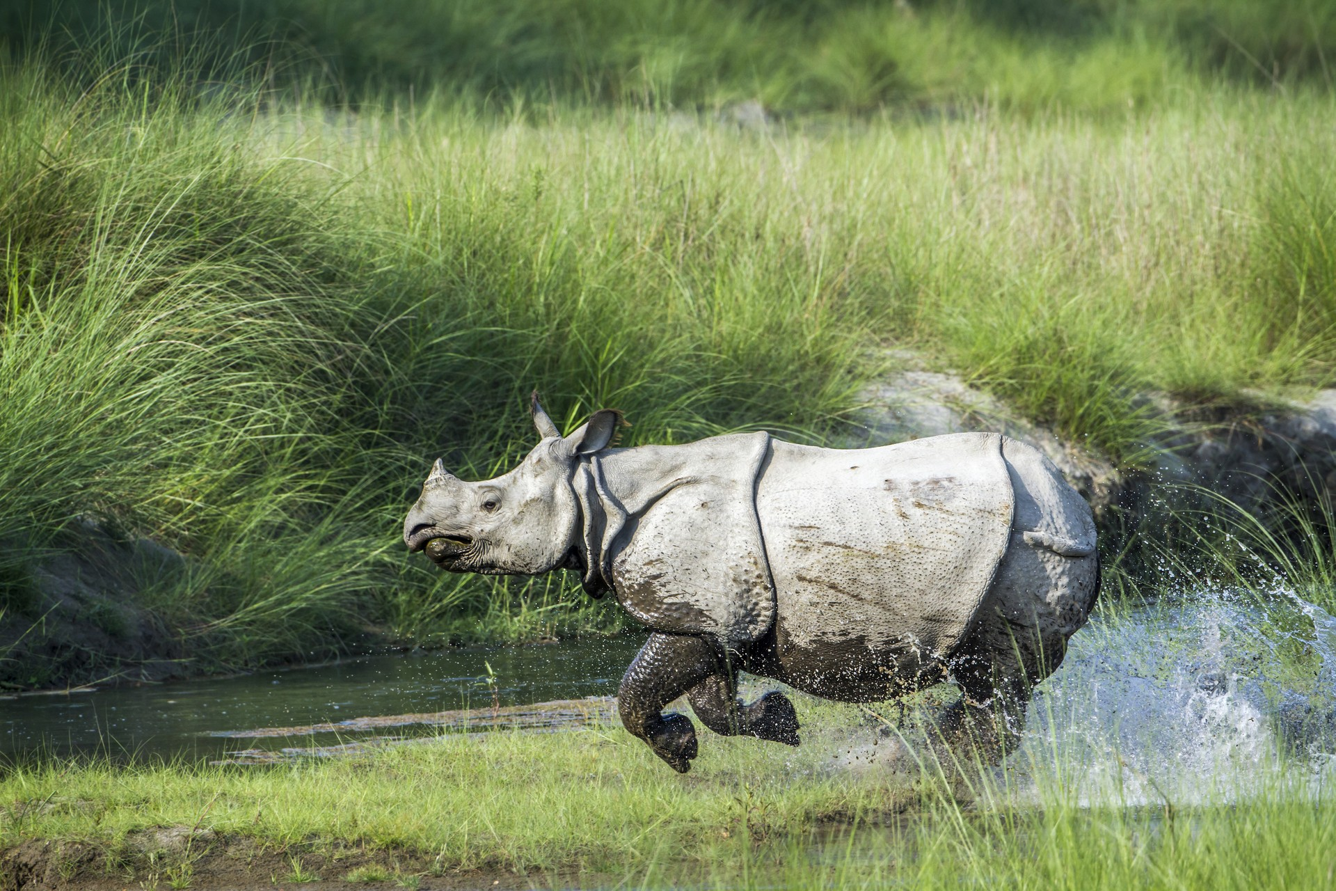 One-horned rhino galloping in Chitwan National Park, Nepal