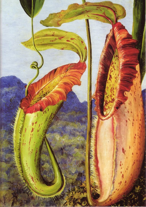 Bornean pitcher plant by Marianne North