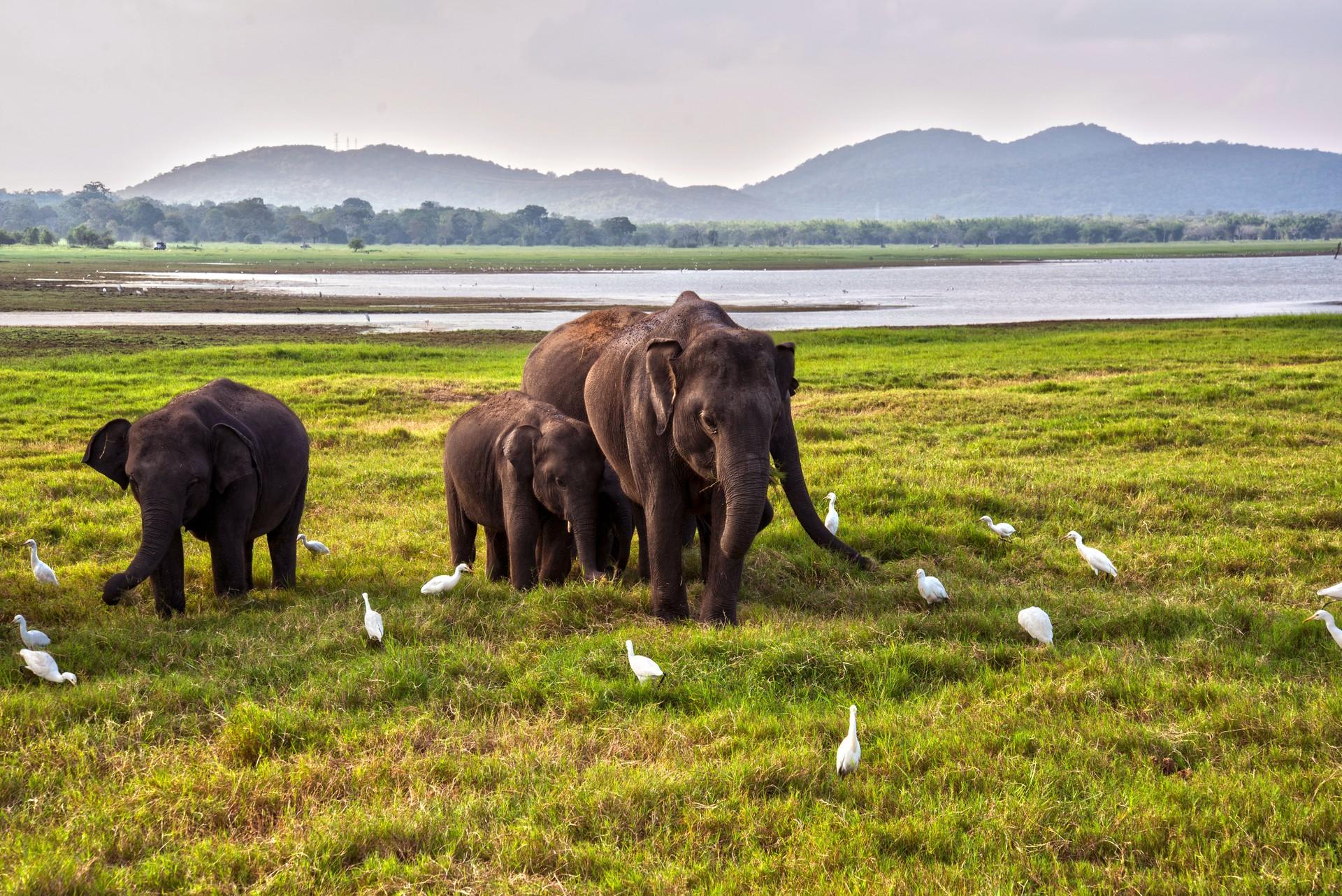 Asian elephants in Yala National Park, Sri Lanka