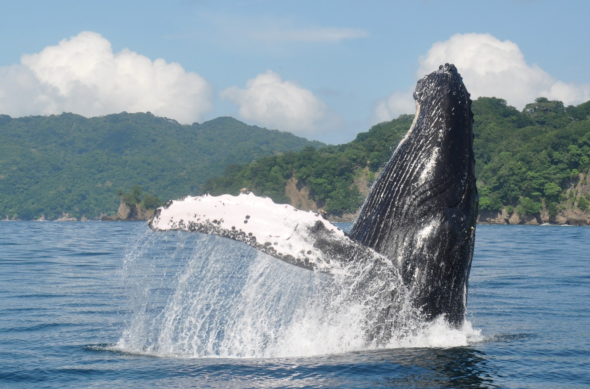 Humpback whale playing in Costa Rica