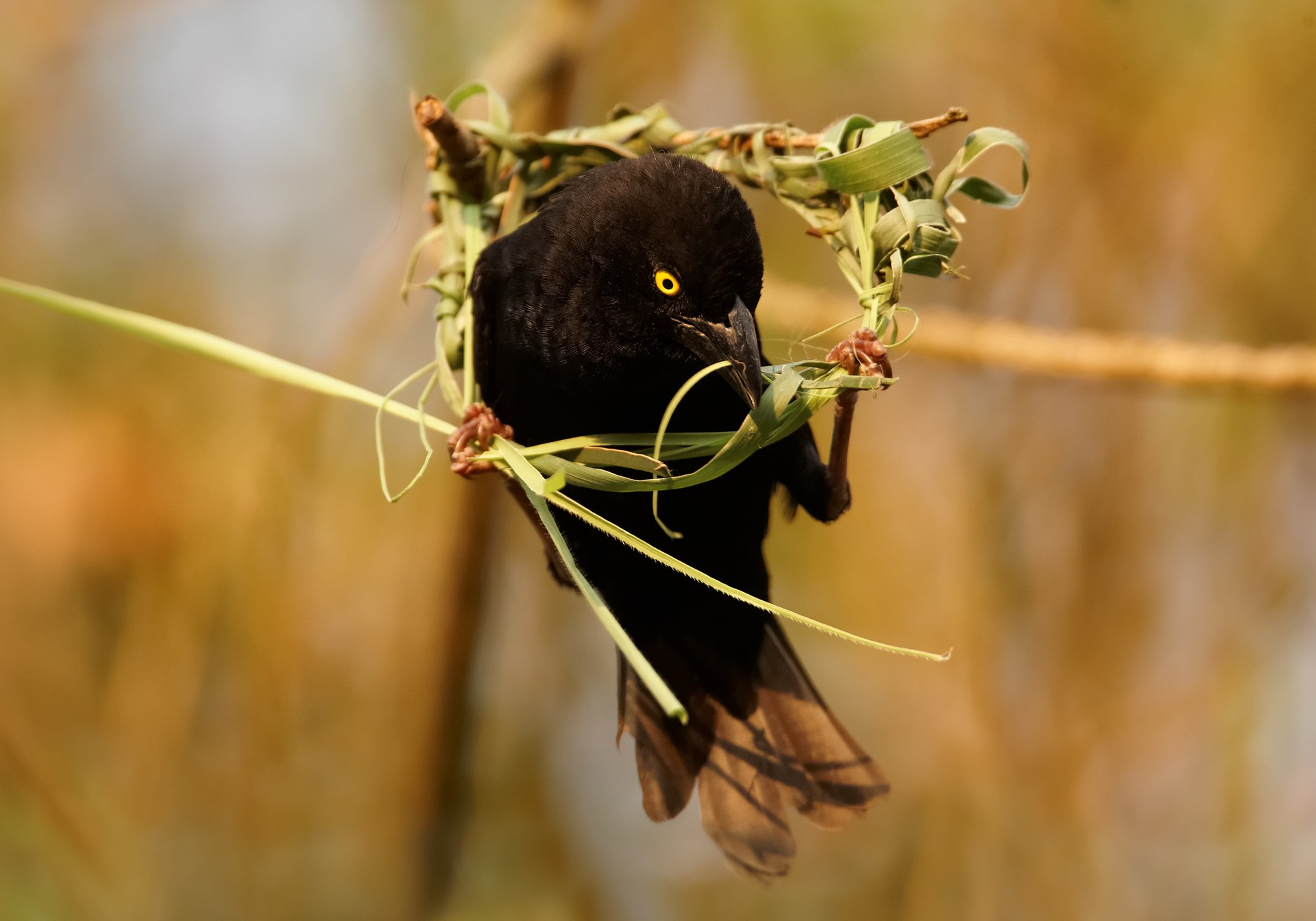 Vieillot's Black Weaver making nest in Uganda