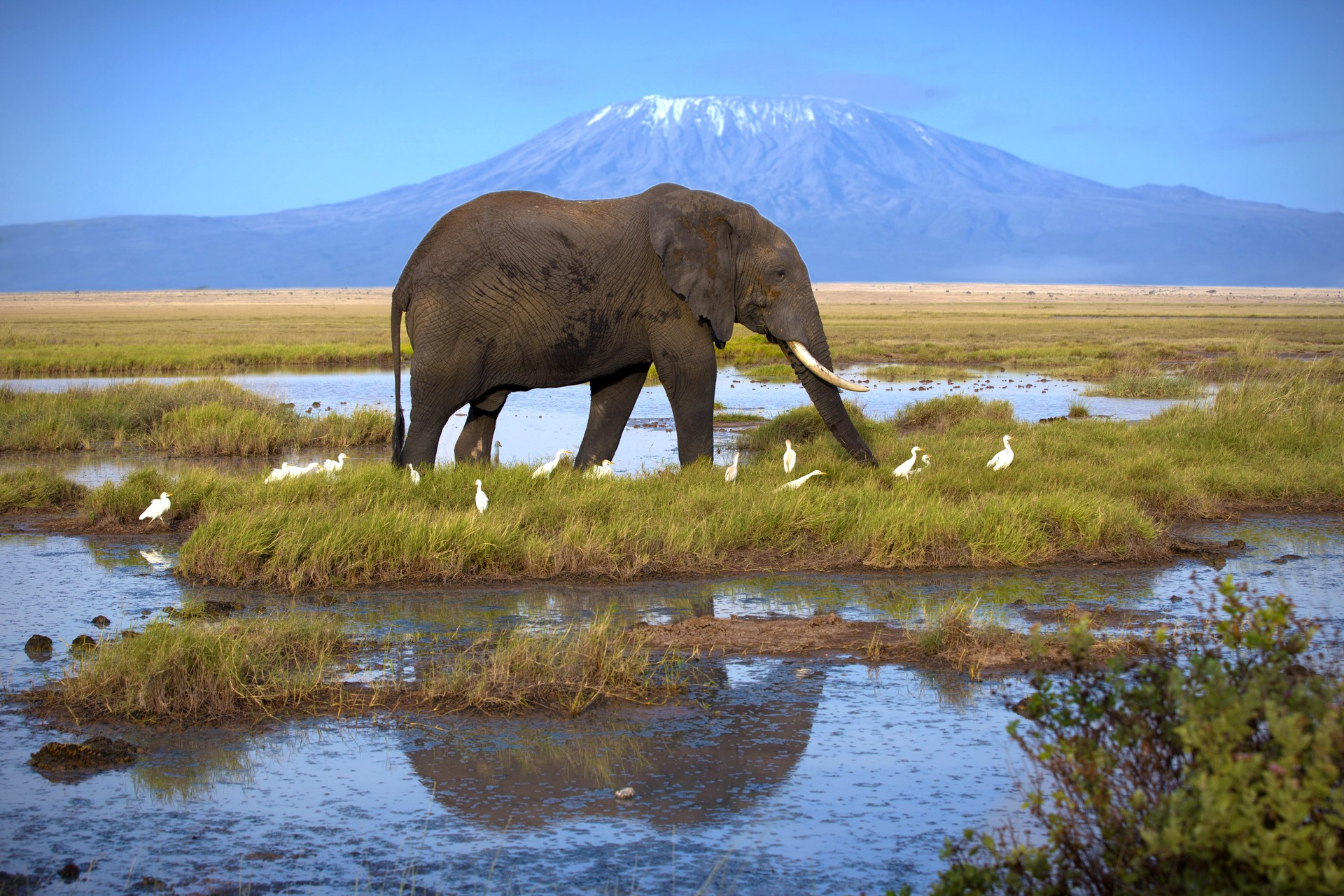 Elephant in Tanzania, Kilimanjaro in background