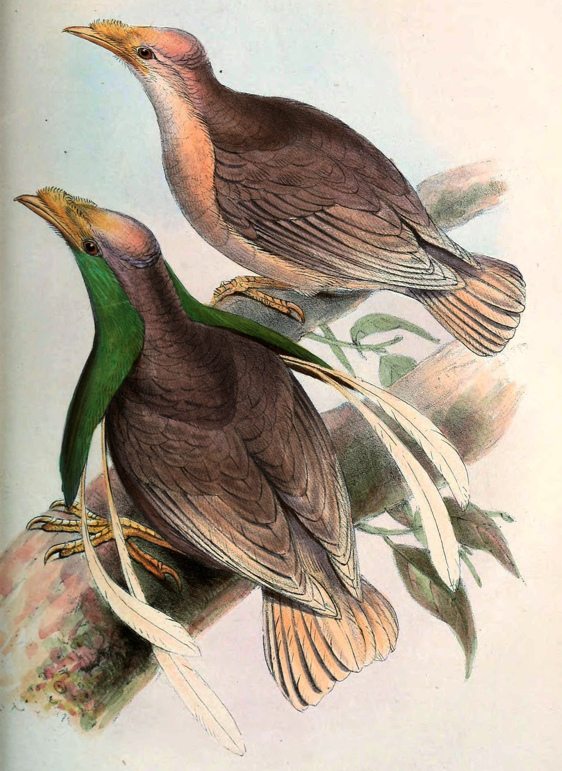 Wallace's standardwing bird of paradise