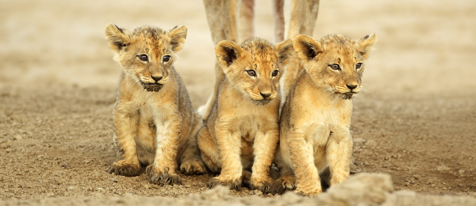 Lion cubs in south africa