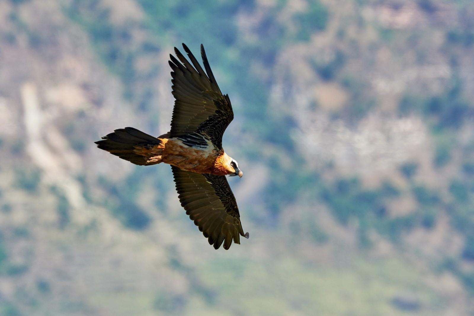 Lammergeier - bearded vulture in Ethiopia