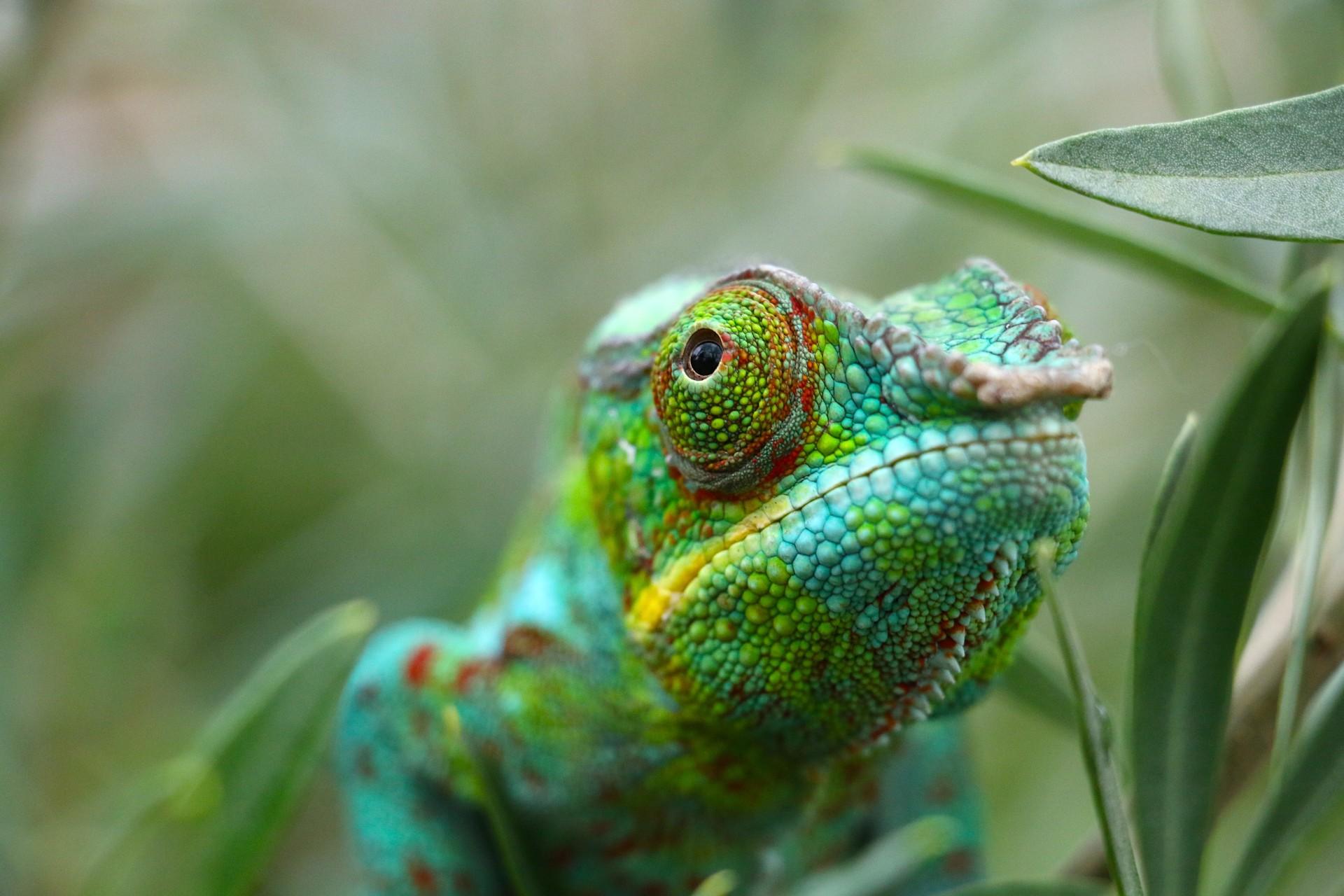 Panther Chameleon in Madagascar