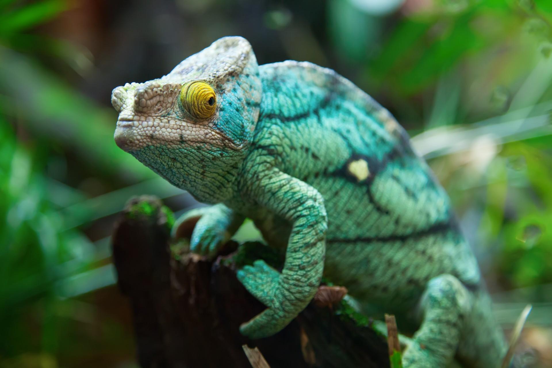 Green chameleon Madagascar