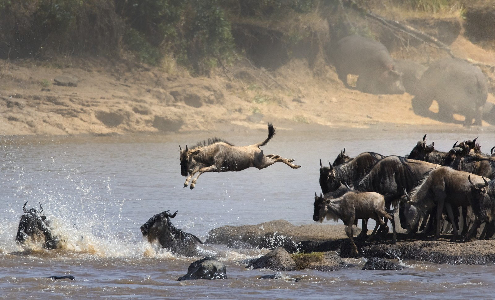 Wildebeest in the Great Migration