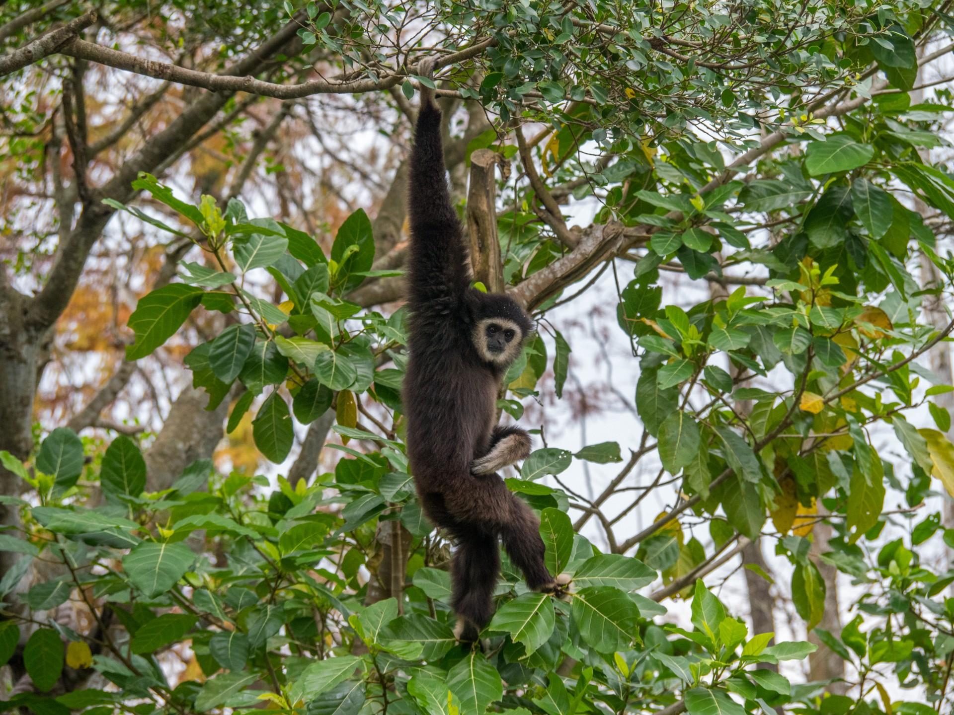 Gibbon in Laos