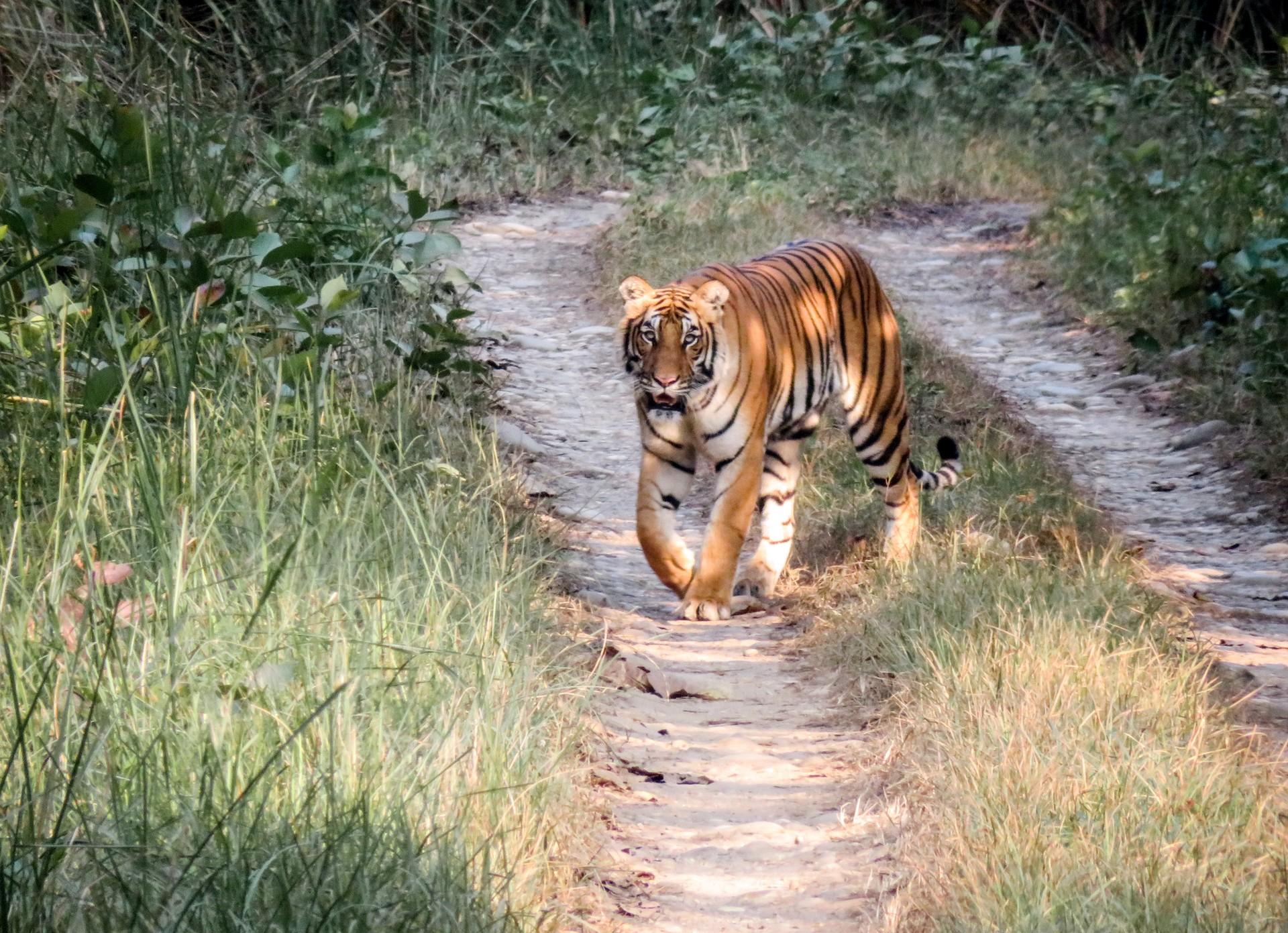Bengal tiger in Chitwan National Park, Nepal