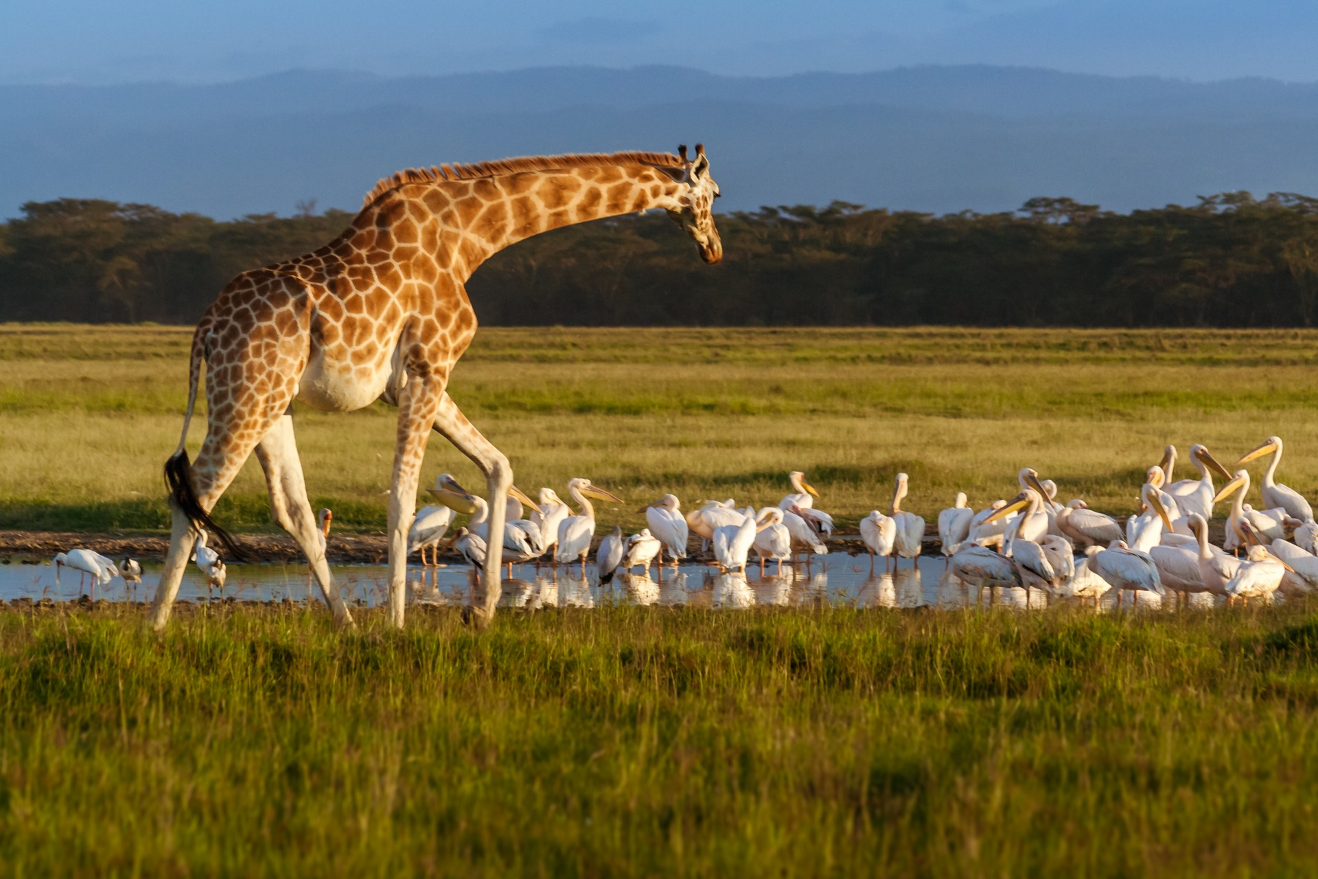 Rothschild giraffe in Lake Nakuru National park, Kenya