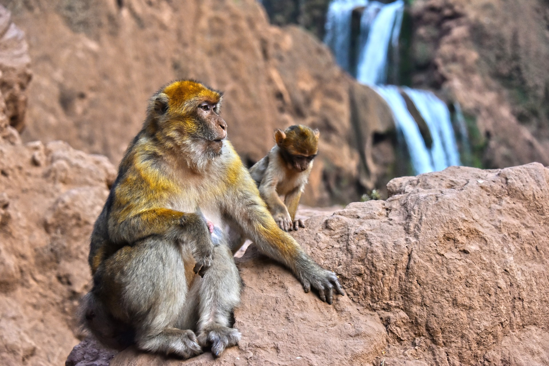 Barbary Macaque and baby in Morocco