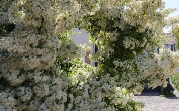 Image: Blossoms