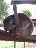 Koala im Krankenhaus