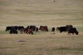 Kuh- und Ziegenherden
