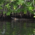 Alligator im Black River
