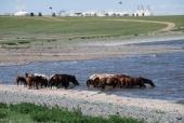 Pferdeherde im Ogii Nuur See