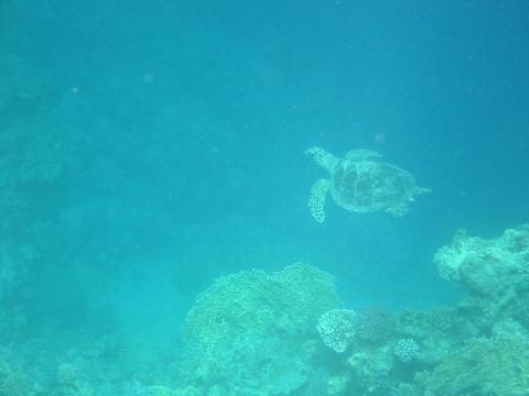 Marsá al `Alam - Schildkröte