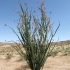 Kaktus in der Anza Borrego Wüste