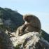 Affen Felsen