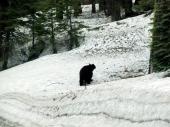 BÄREN im Sequoia!