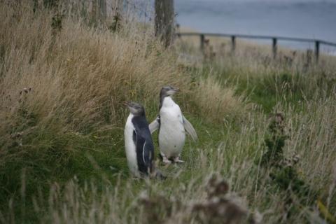Otago Peninsula - Zwei Watschelmänner