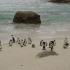 Pinguine in Boulders