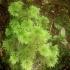 Hypopterygium didictyon; Moos im Regenwald
