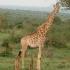 Giraffe im Kruger Nationalpark