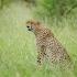 Gepard im Kruger